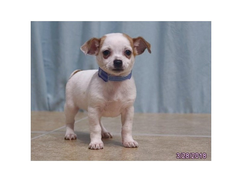 chihuahua puppies for sale near erie pa