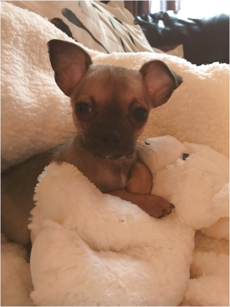 chihuahua puppies for sale near glasgow
