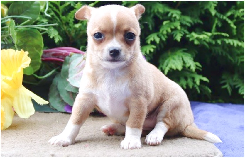 chihuahua puppies for sale near harrisburg pa