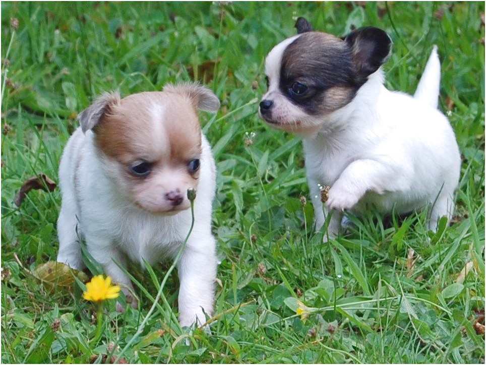 chihuahua puppies for sale near jacksonville fl