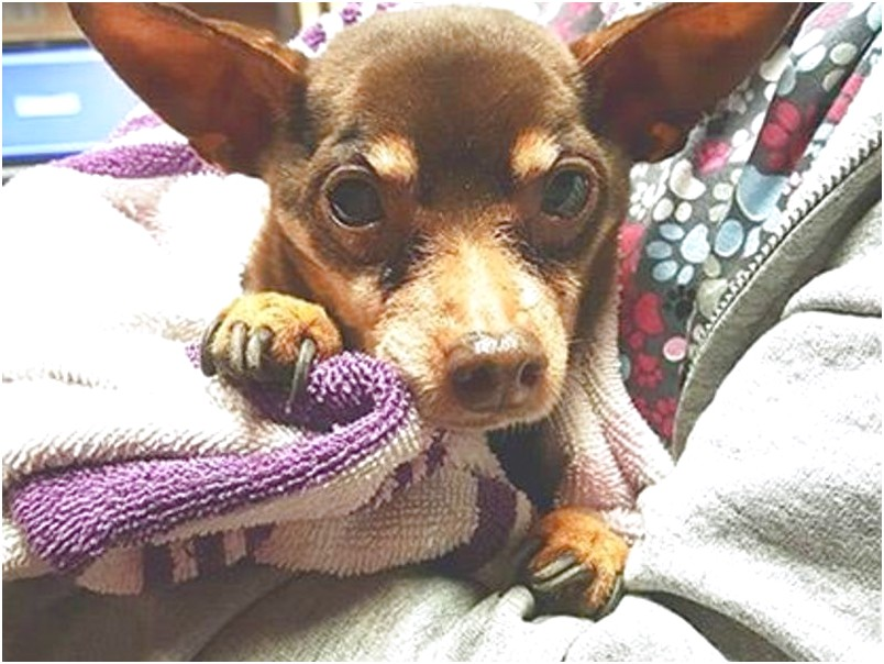 chihuahua puppies for sale near lansdale pa