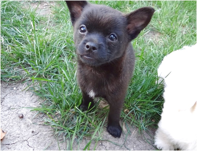 chihuahua puppies for sale near madison wi