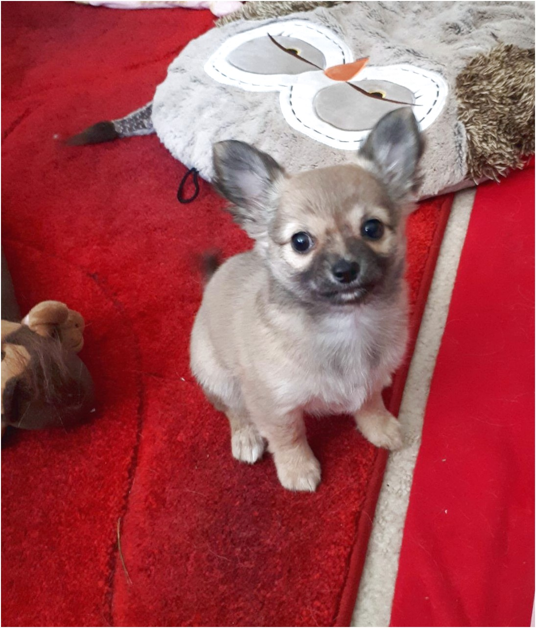 chihuahua puppies for sale near manchester