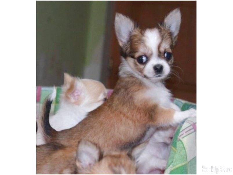 chihuahua puppies for sale near me cheap