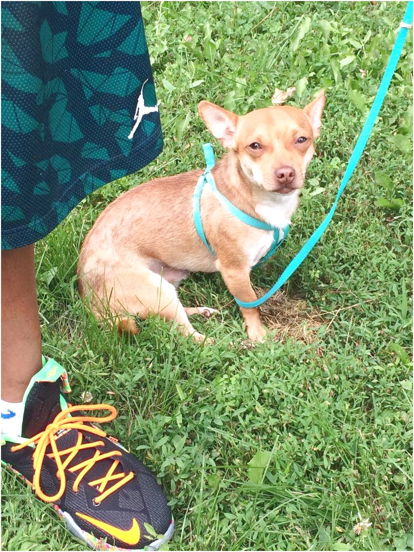 chihuahua puppies for sale near me craigslist