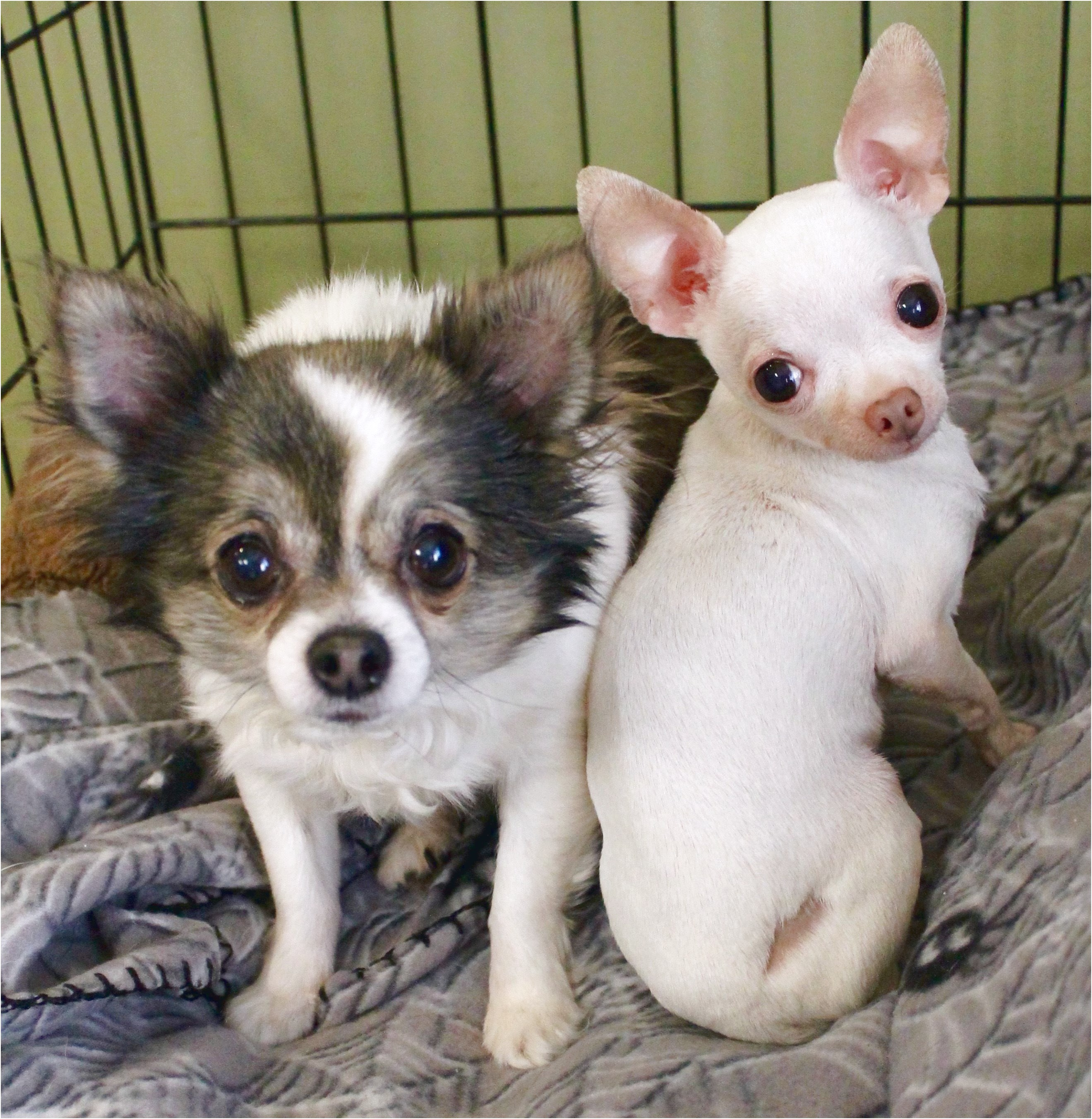 chihuahua puppies for sale near memphis tn
