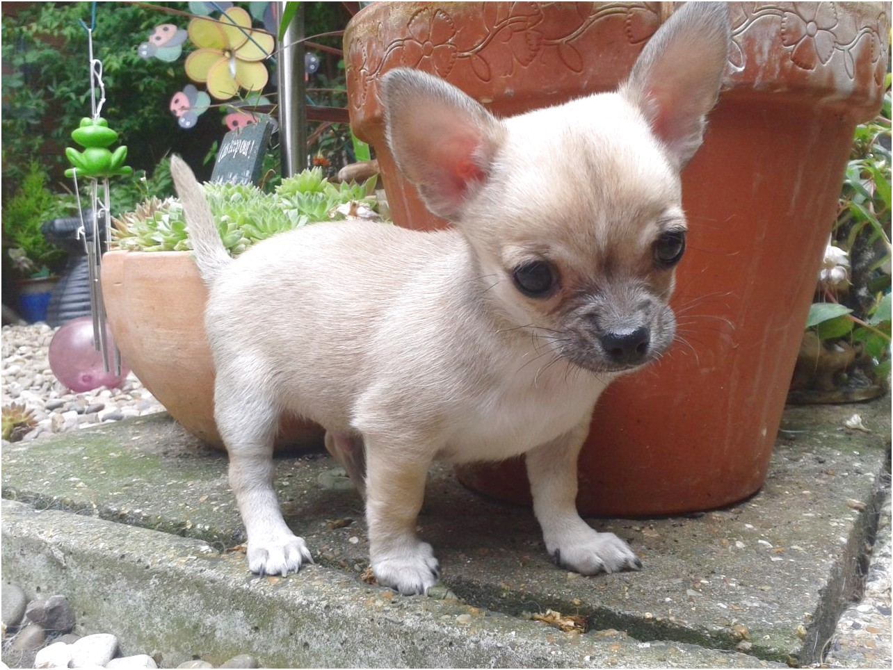 chihuahua puppies for sale near milton keynes