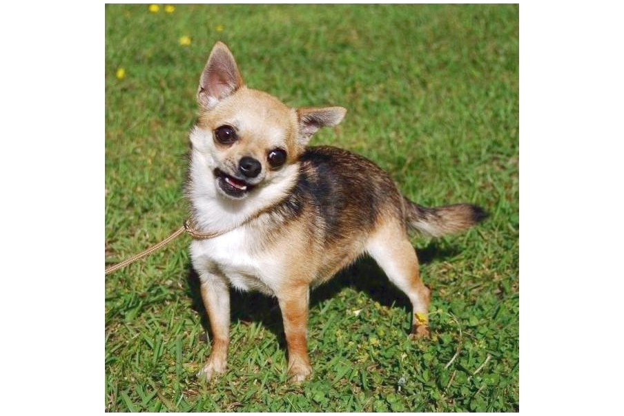 Chihuahua Puppies For Sale Near Wilmington Nc