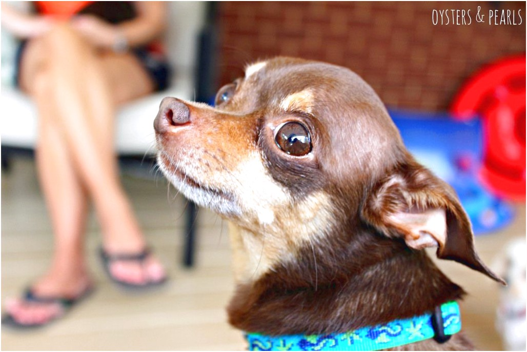 chihuahua puppies for sale thomasville ga