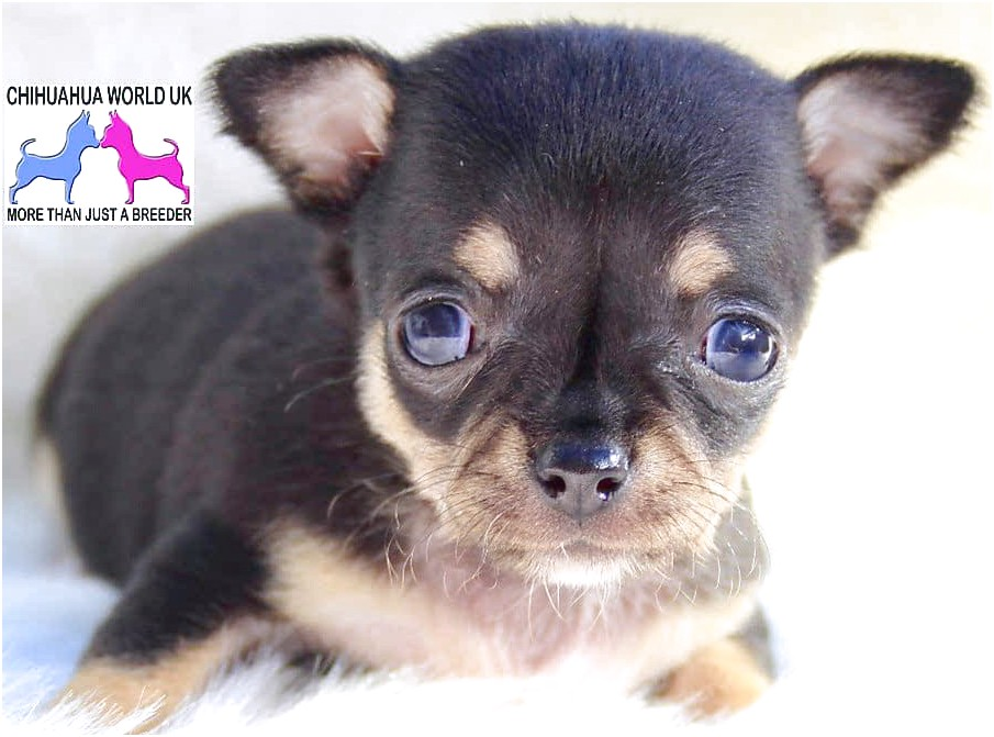 chihuahua puppies for sale uk near me