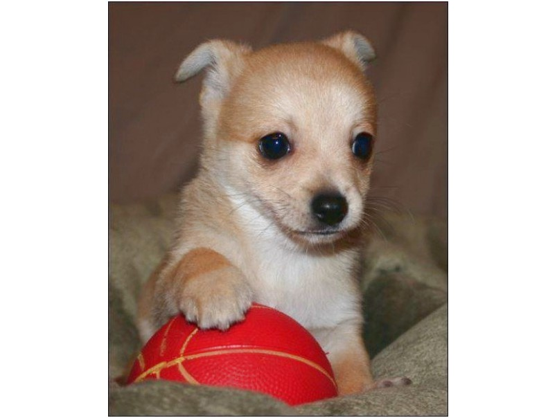 chihuahua puppies rescue ct