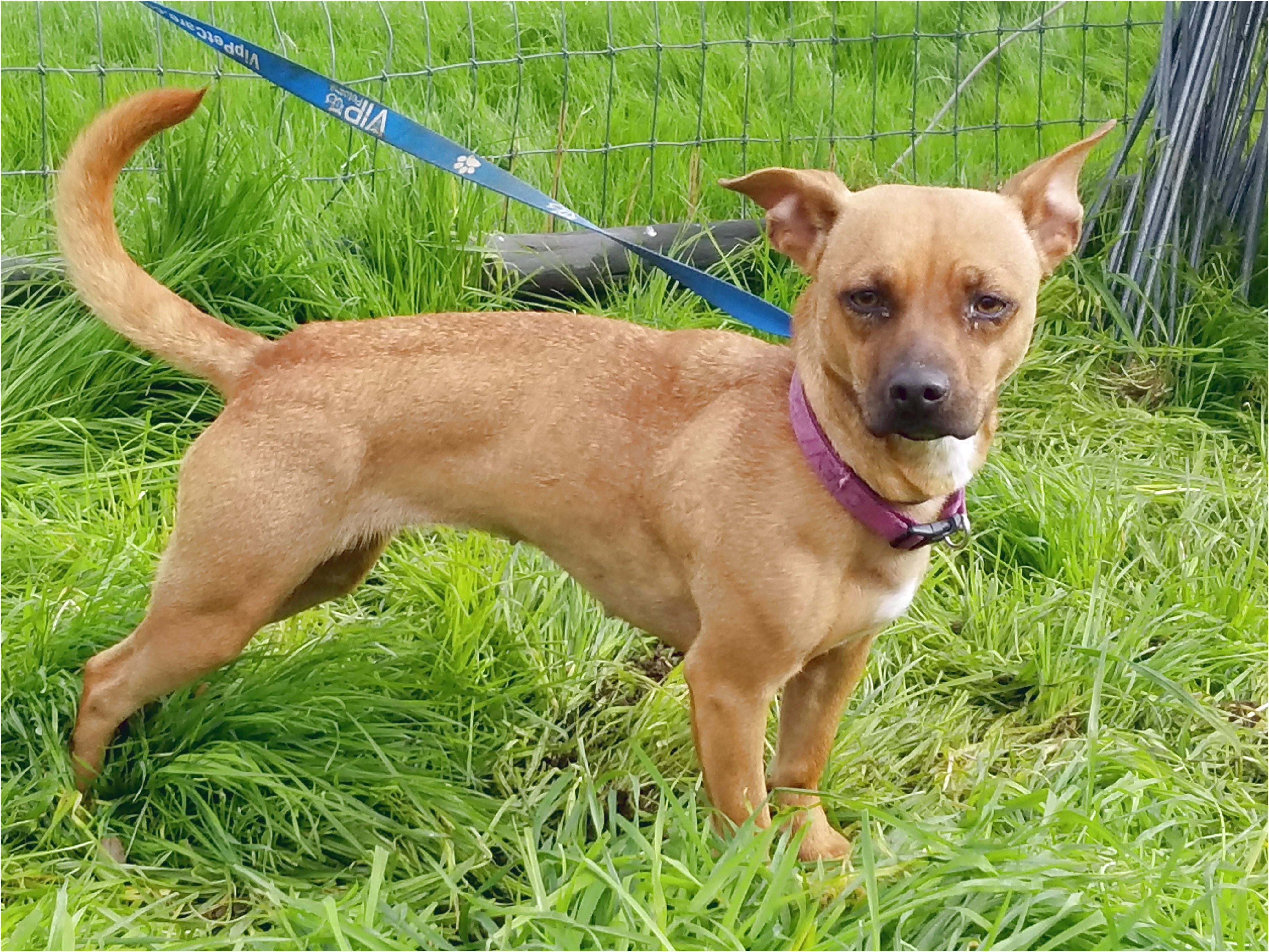 chihuahua rescue vacaville ca