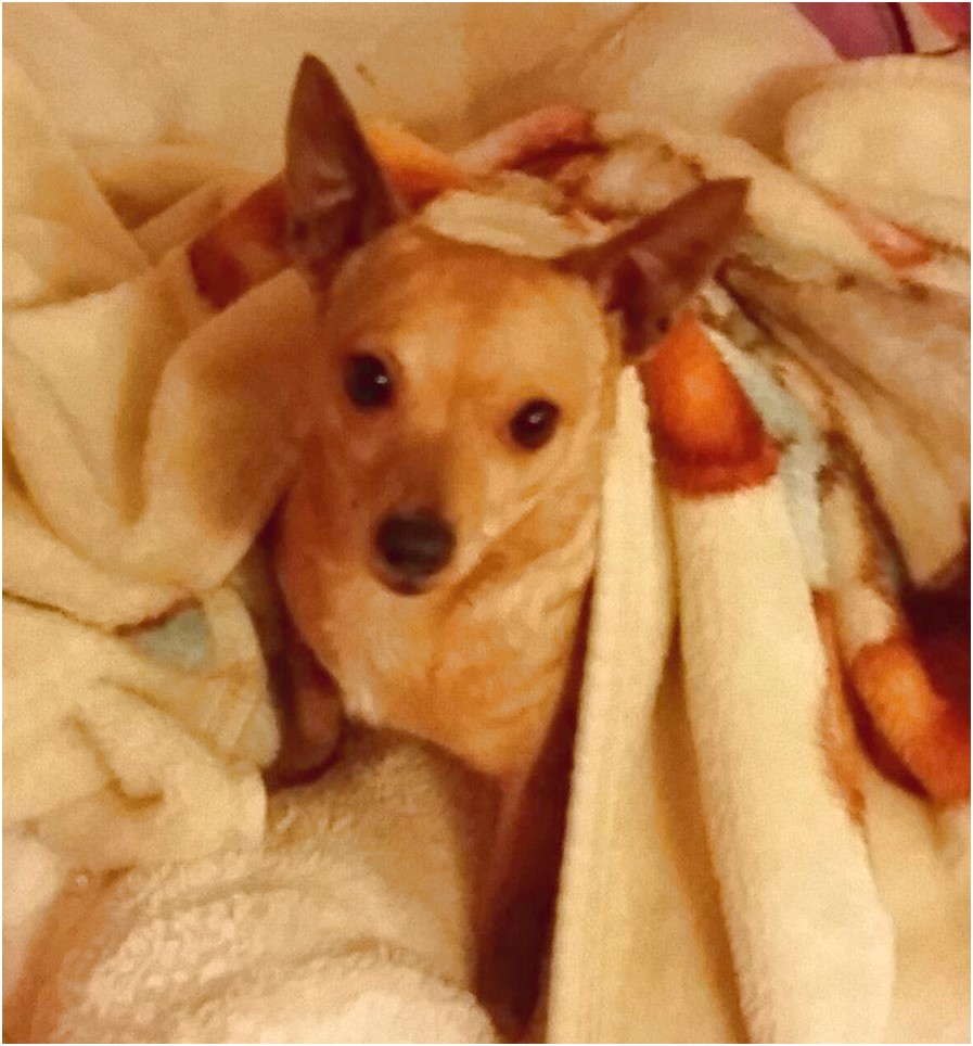 chihuahua rescue vancouver bc