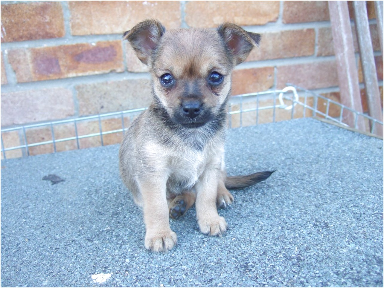 chihuahua x yorkshire terrier puppies for sale