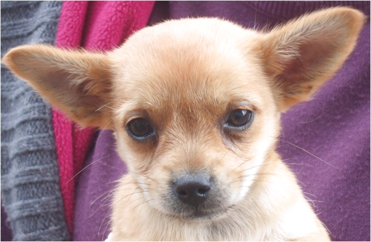 chihuahua yorkie puppies for sale near me