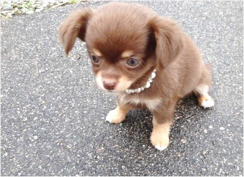 chocolate chihuahua puppies for sale nc