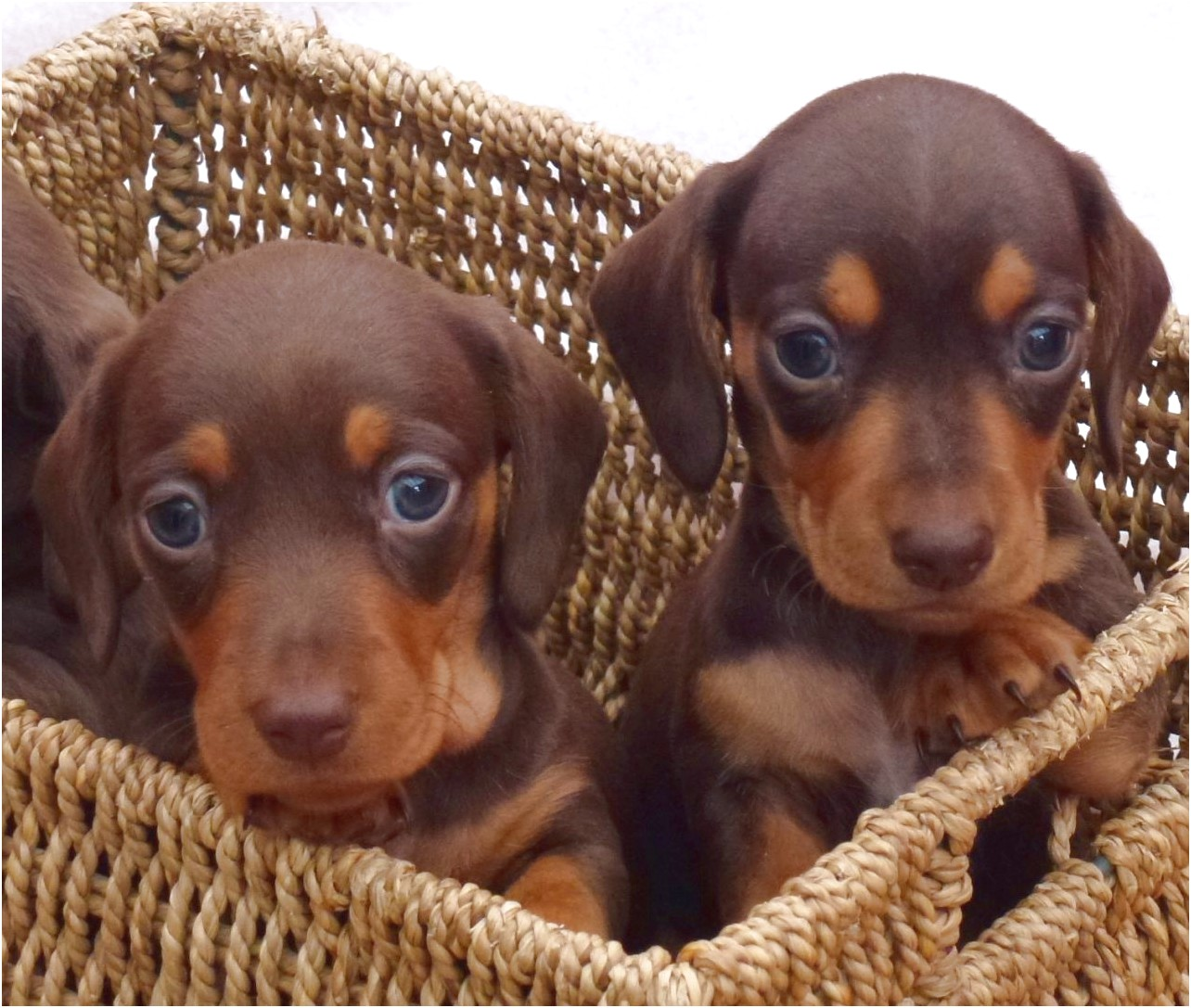 chocolate dachshund puppies for sale near me