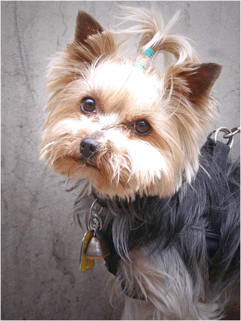 cost of yorkshire terrier puppies