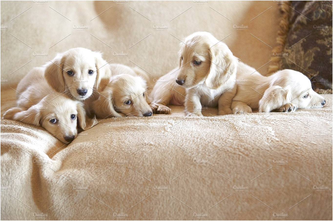cream miniature dachshund puppies for sale near me