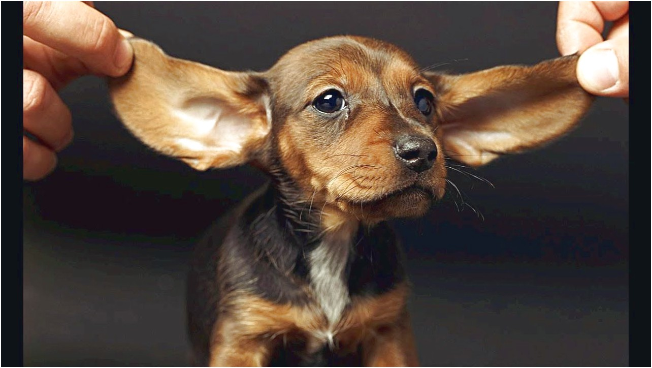 cute pictures of dachshund puppies