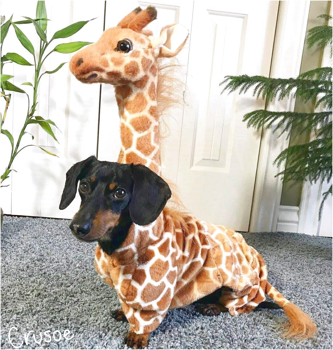 dachshund halloween outfit