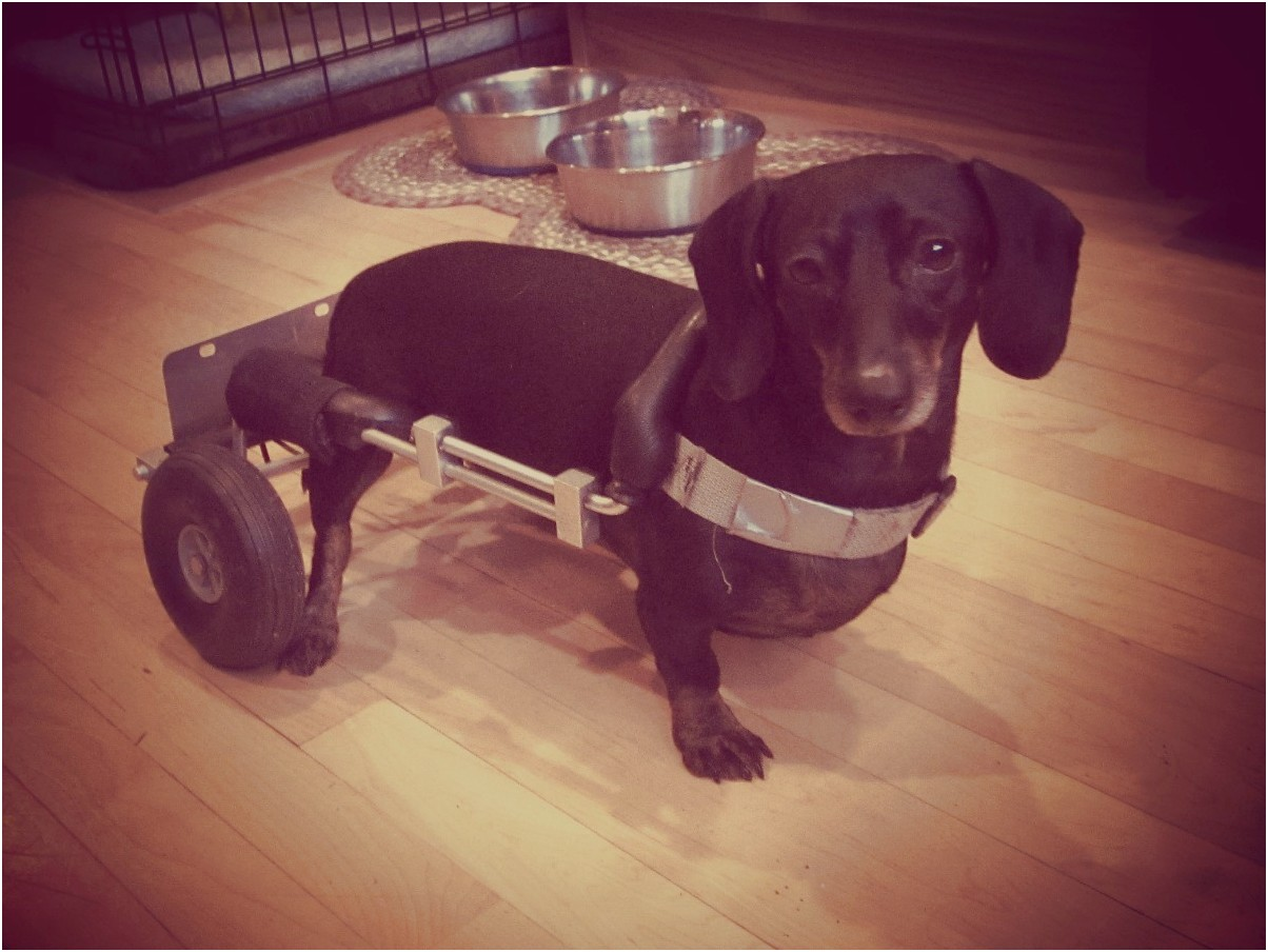 dachshund in a wheelchair