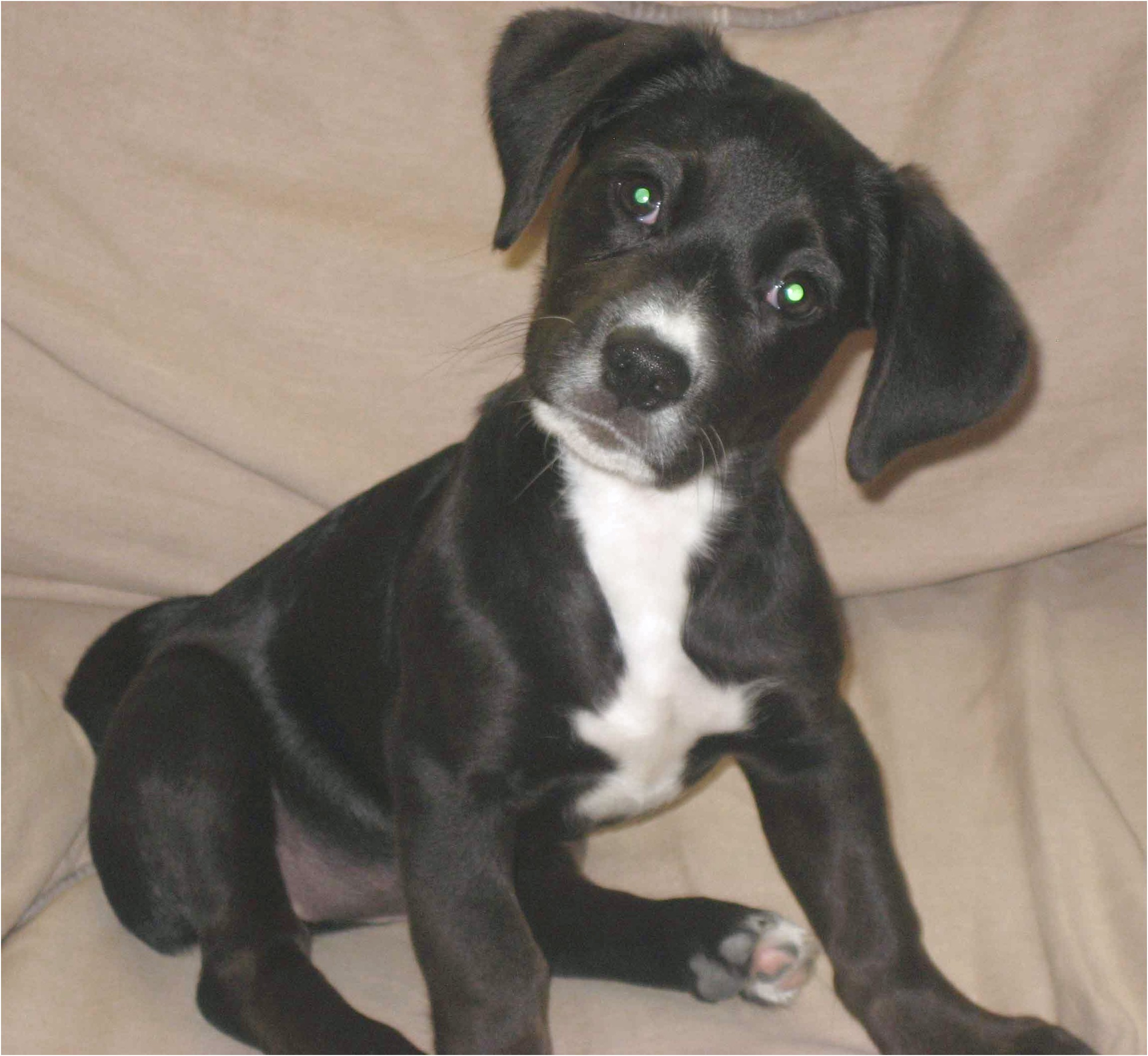 dachshund mix puppies for sale in texas