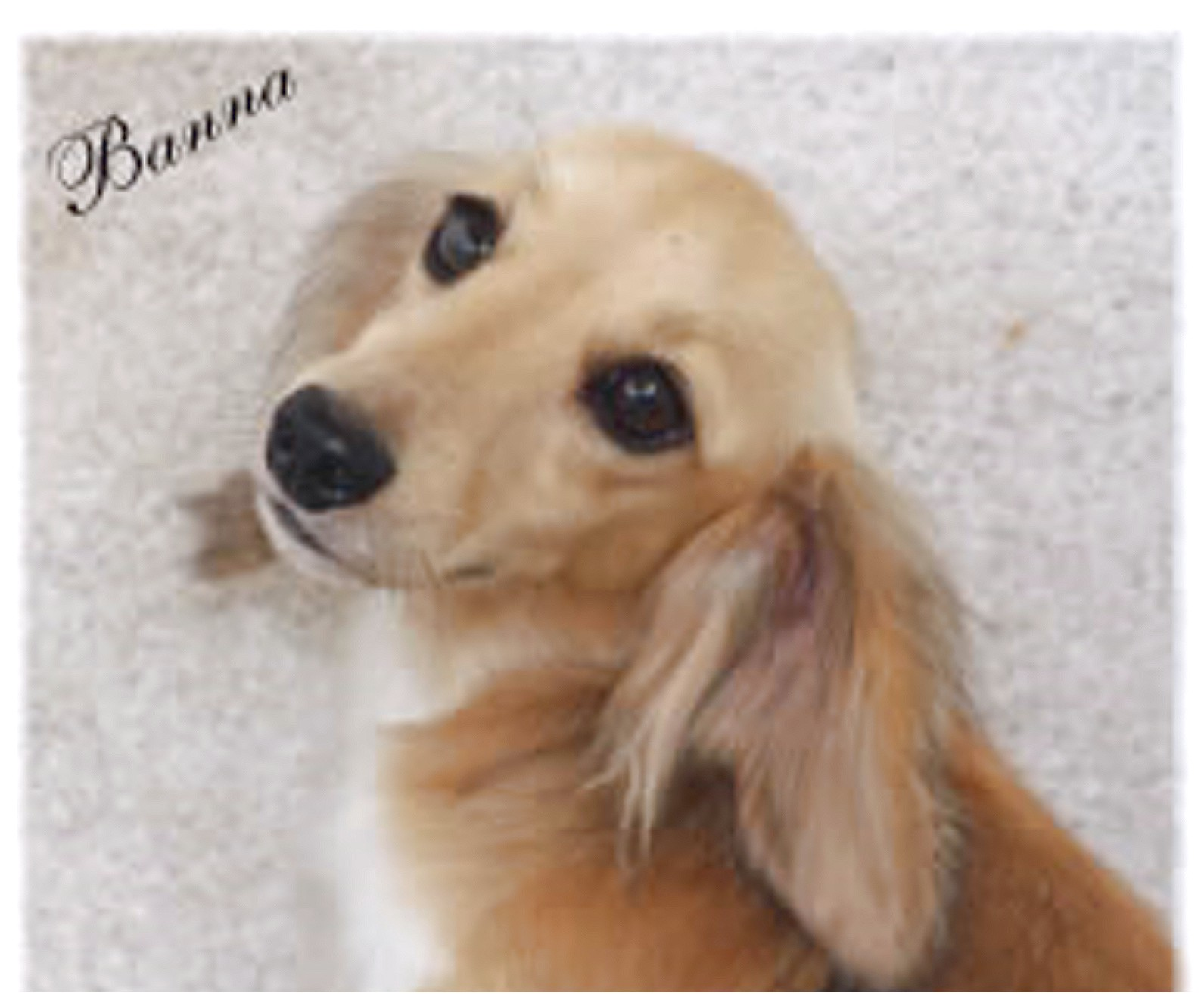 dachshund puppies for adoption in nc