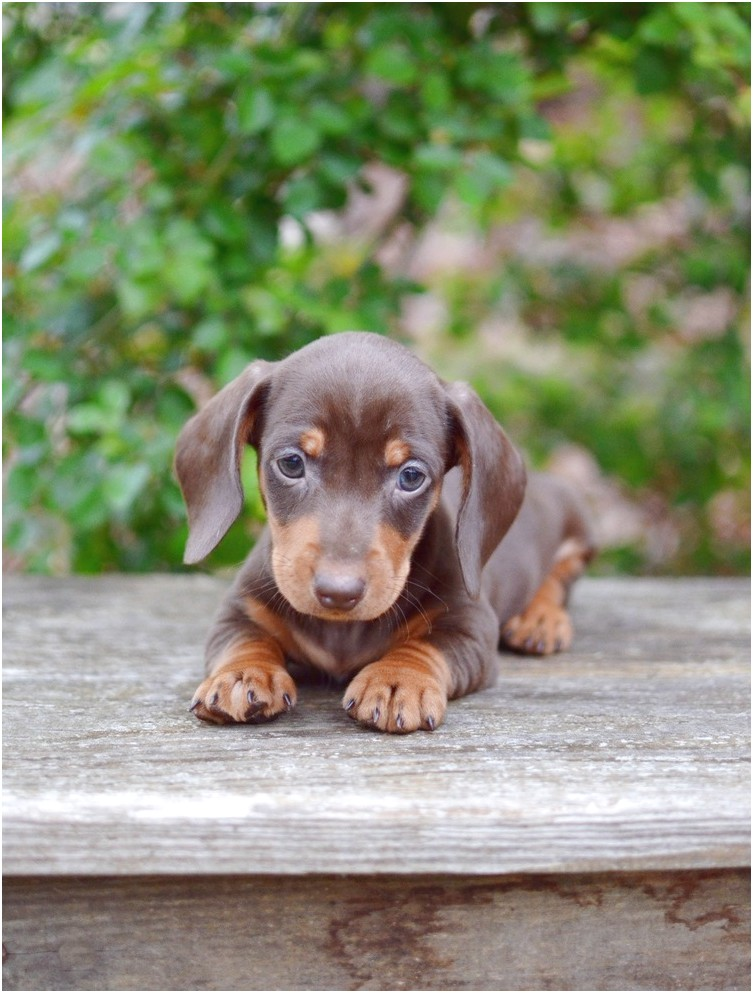 dachshund puppies for free near me