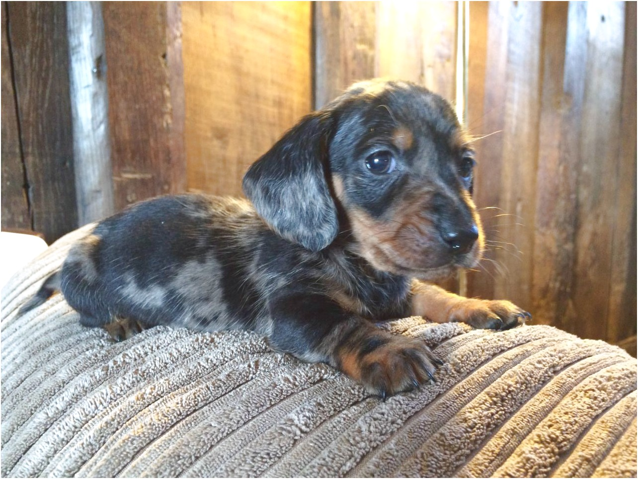 dachshund puppies for sale by owner