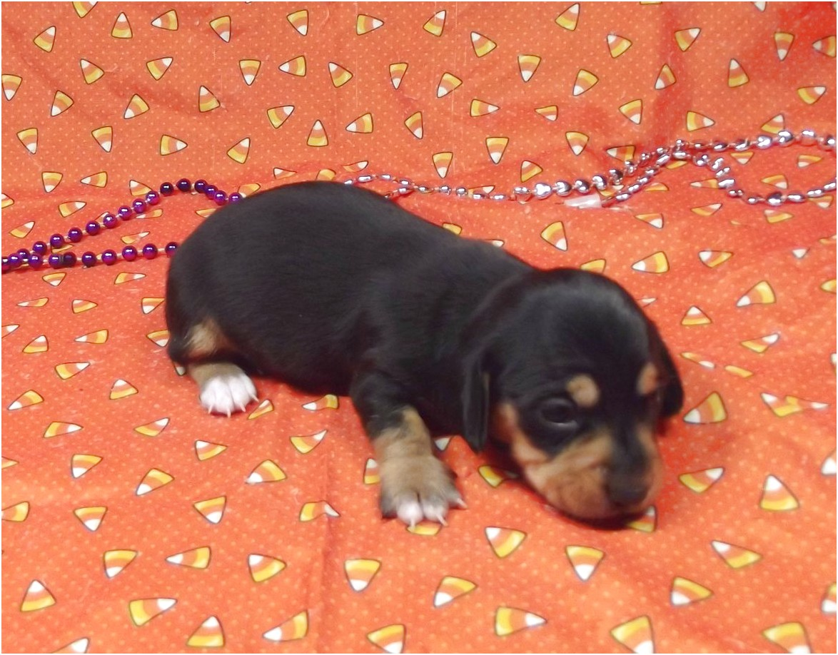 dachshund puppies for sale cincinnati ohio