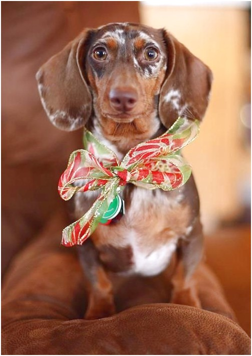 dachshund puppies for sale denton tx