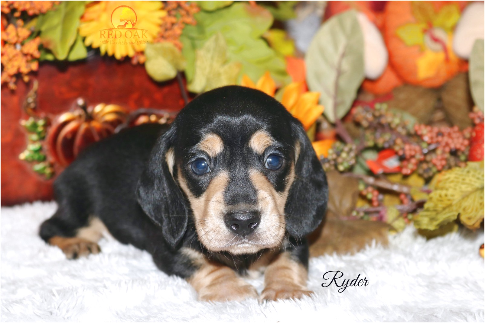 dachshund puppies for sale dfw tx