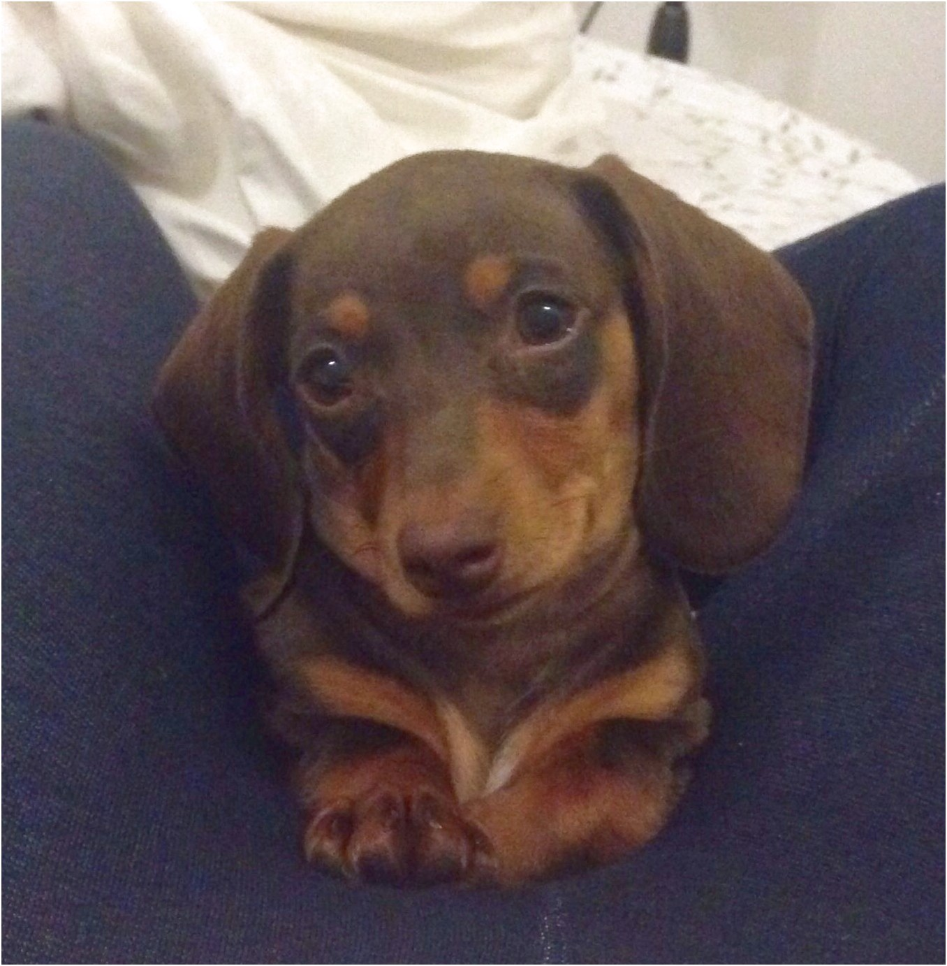 dachshund puppies for sale gastonia nc
