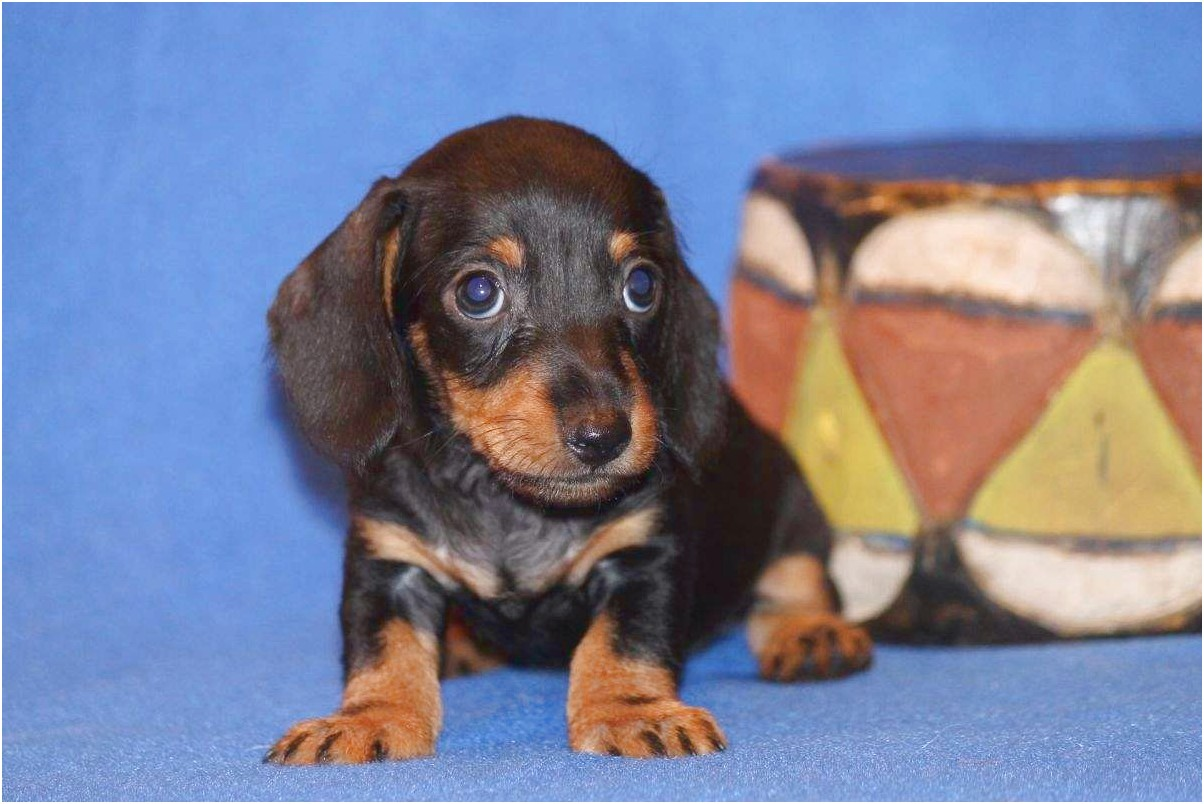dachshund puppies for sale in canton texas