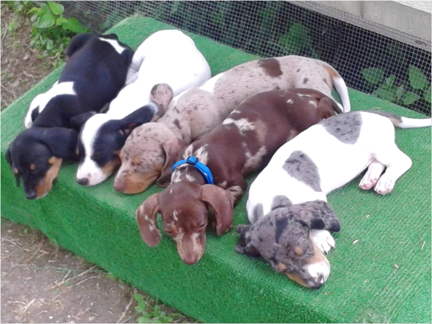 dachshund puppies for sale in central texas