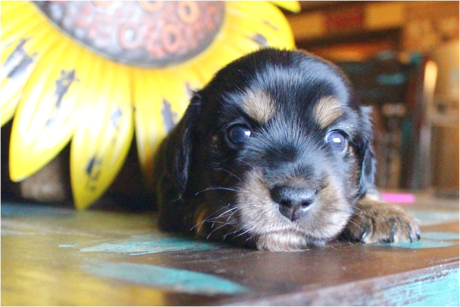 dachshund puppies for sale in floresville tx