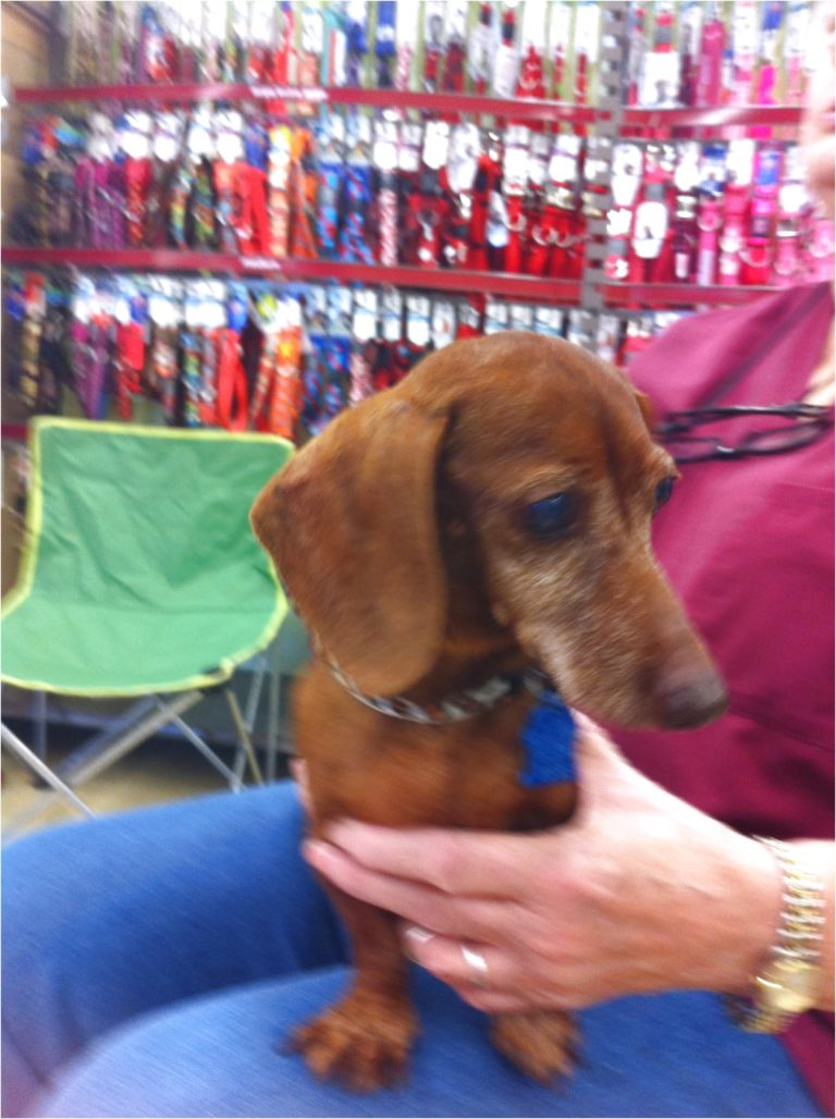 dachshund puppies for sale in harlingen texas