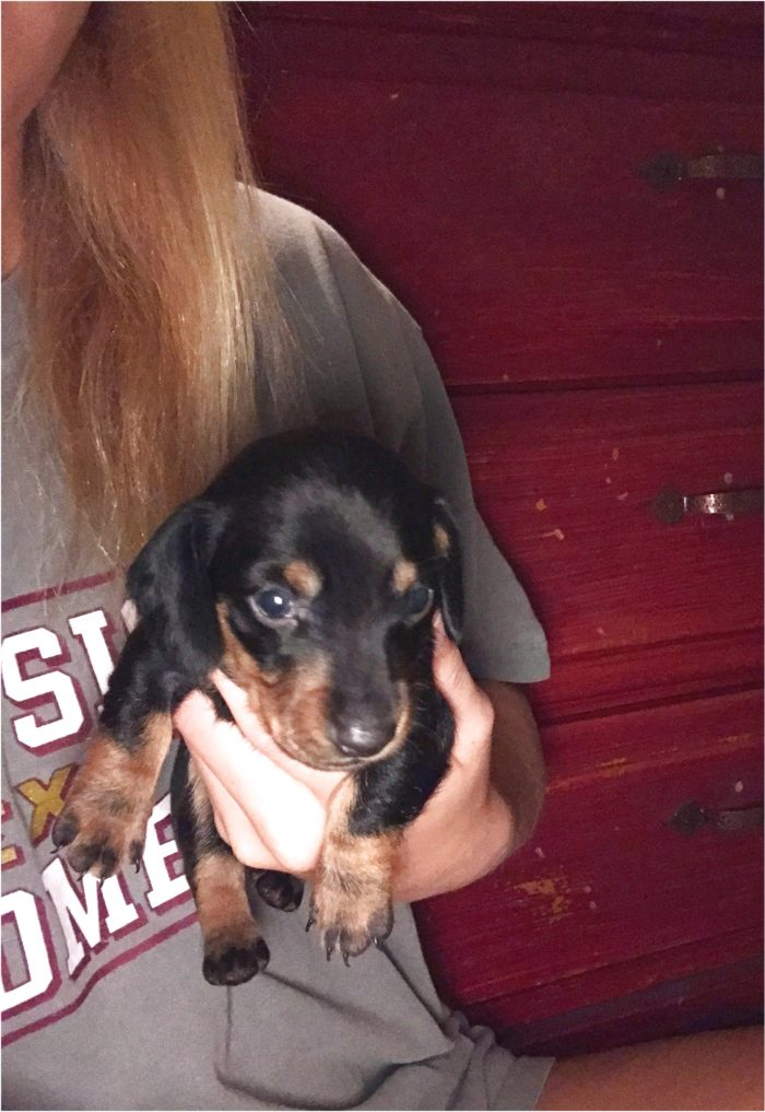 dachshund puppies for sale in katy tx