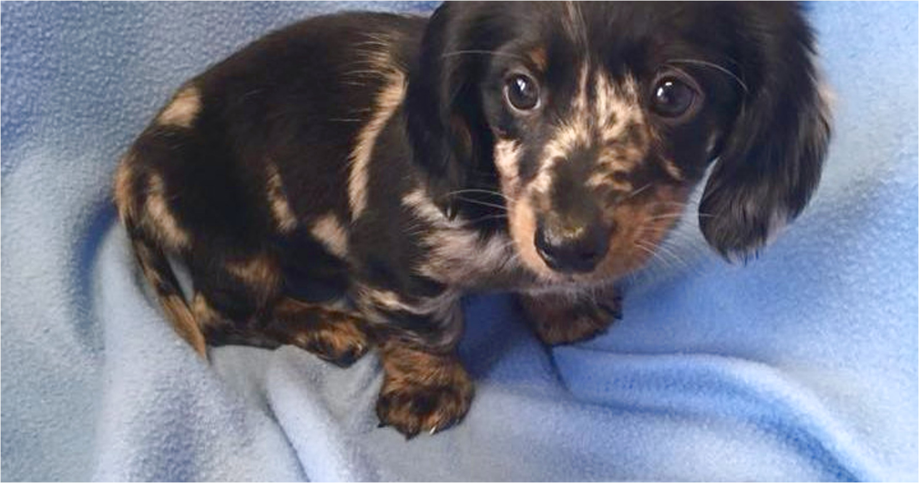 dachshund puppies for sale in lancaster pa