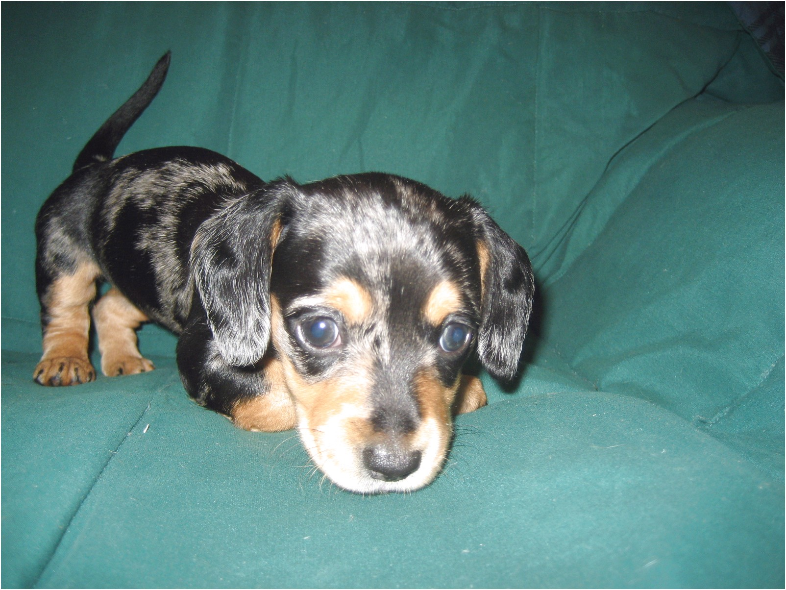 dachshund puppies for sale in pampanga