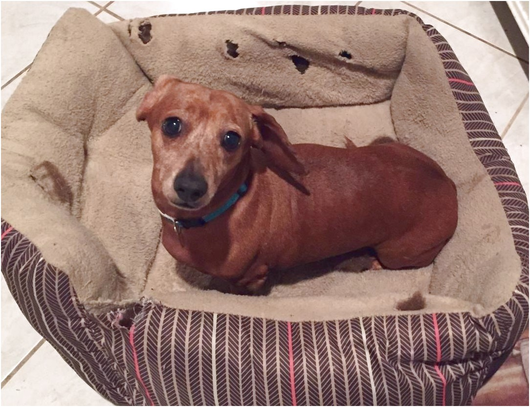 dachshund puppies for sale in pearland tx