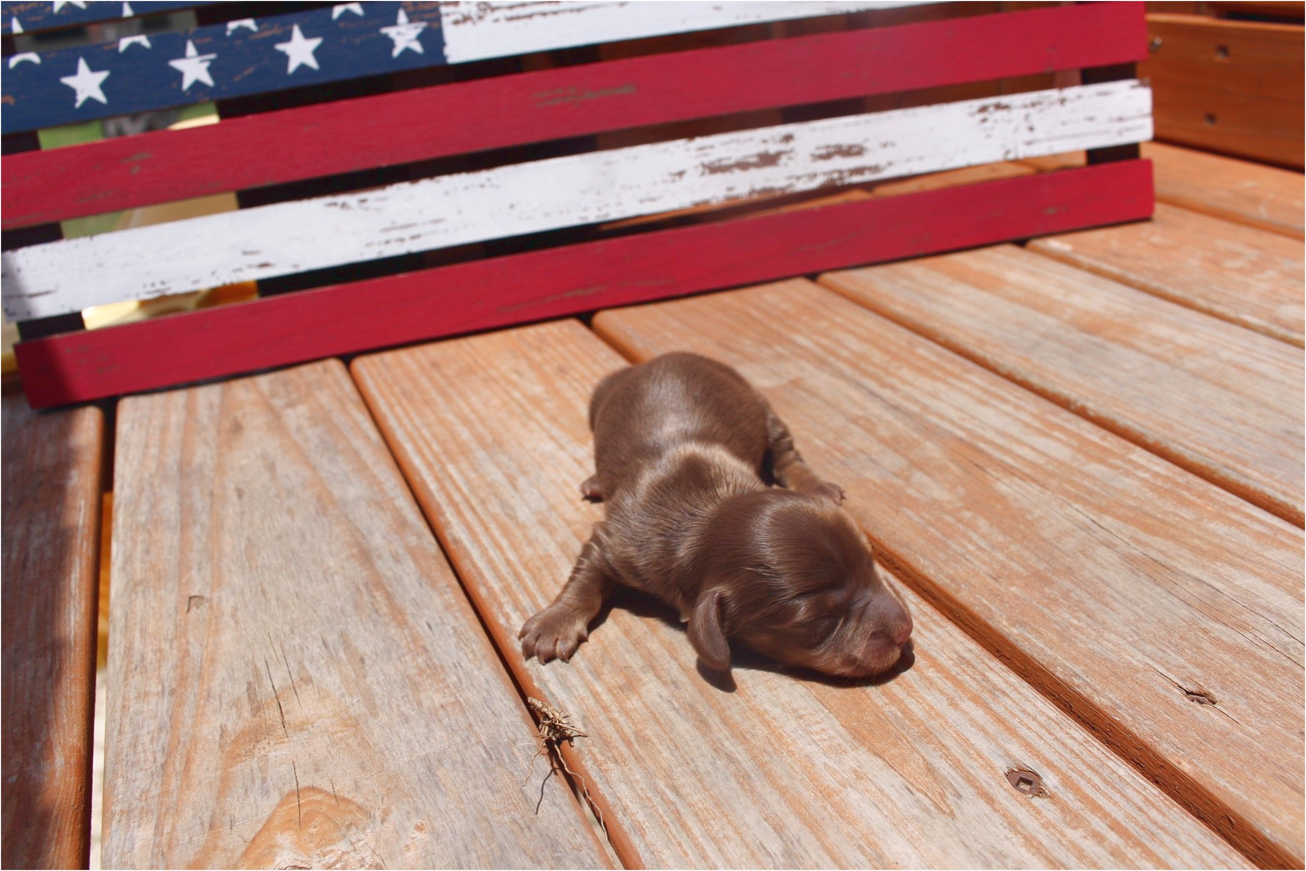 dachshund puppies for sale in san antonio texas