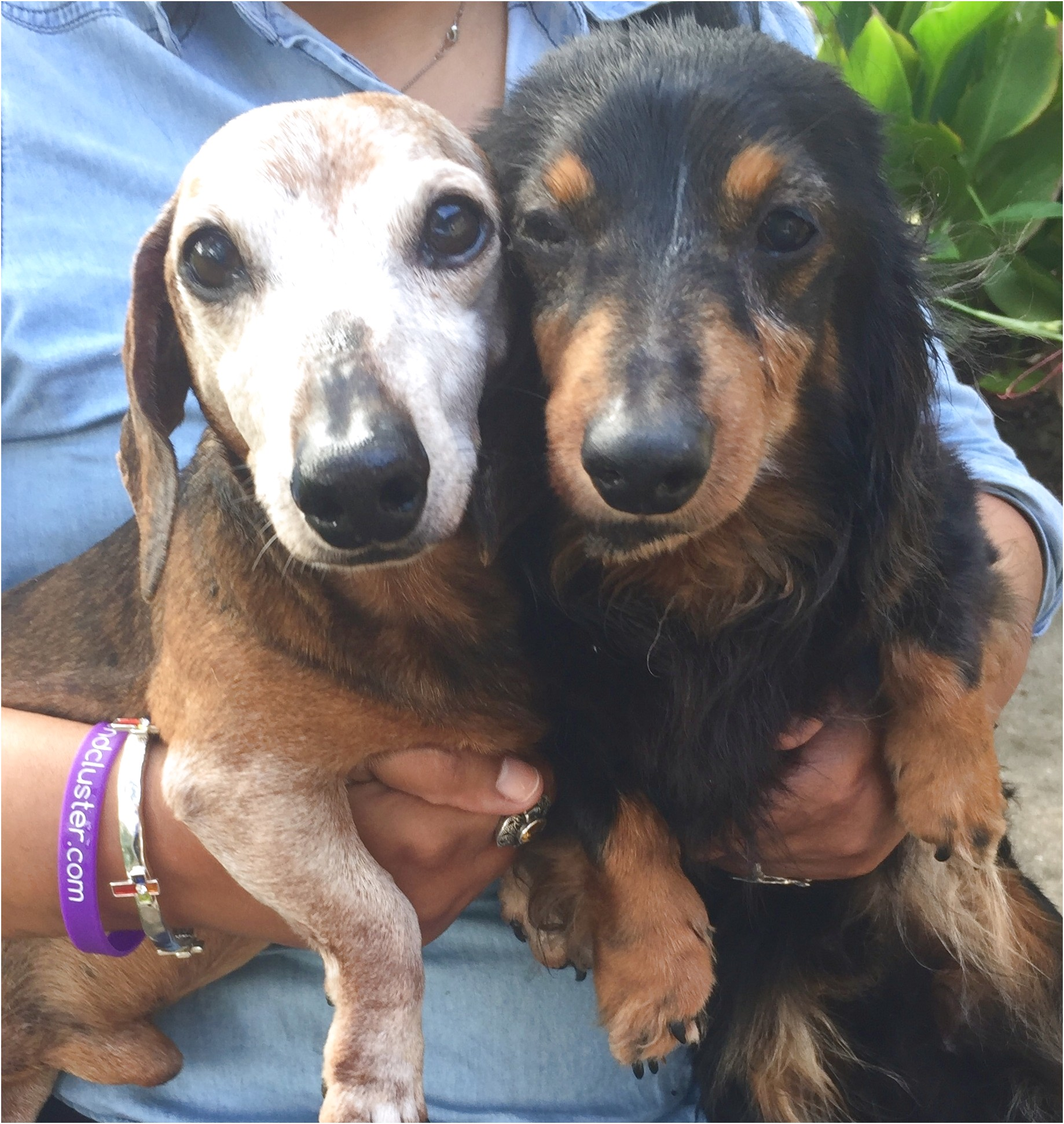 dachshund puppies for sale in texas dallas