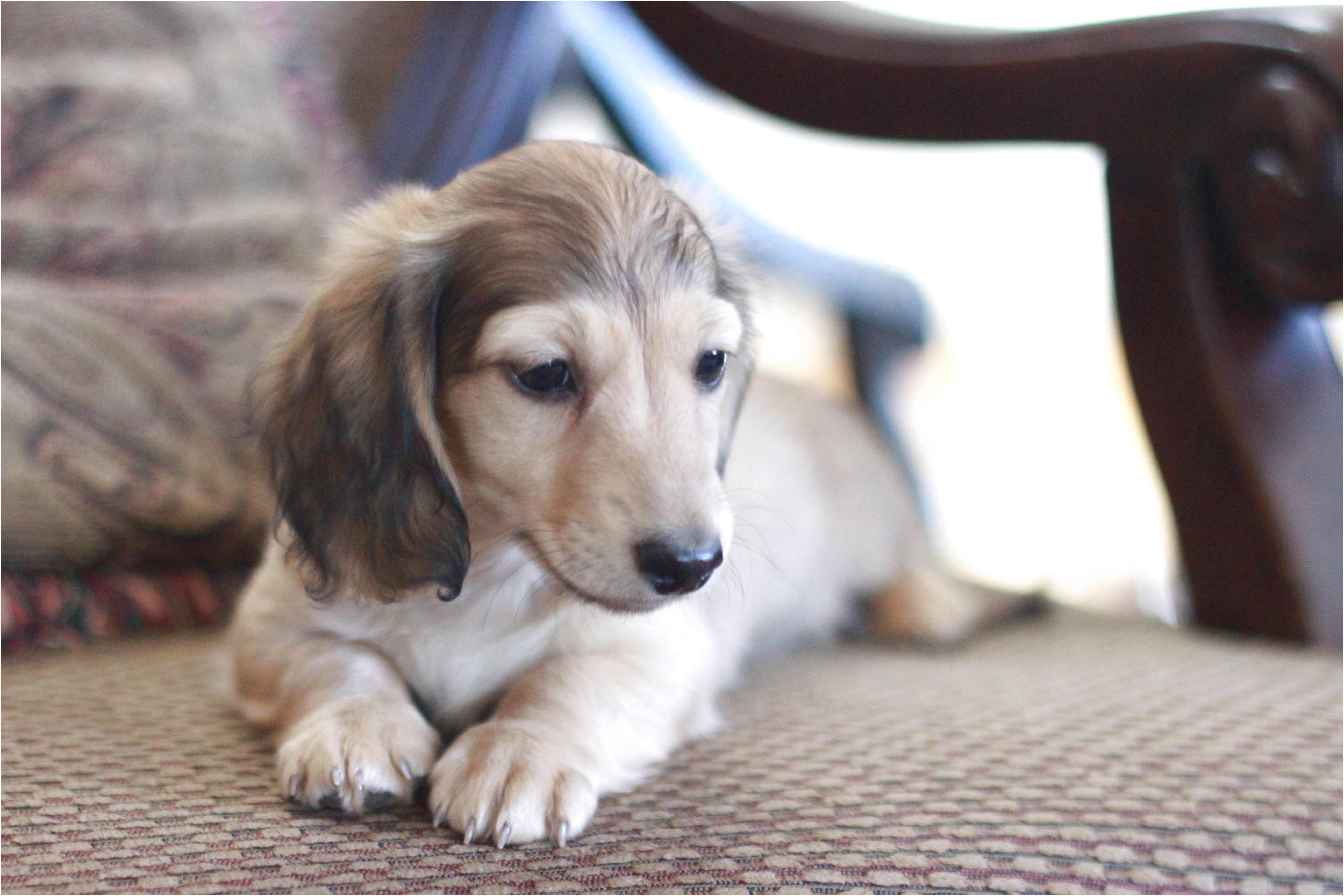dachshund puppies for sale in tx