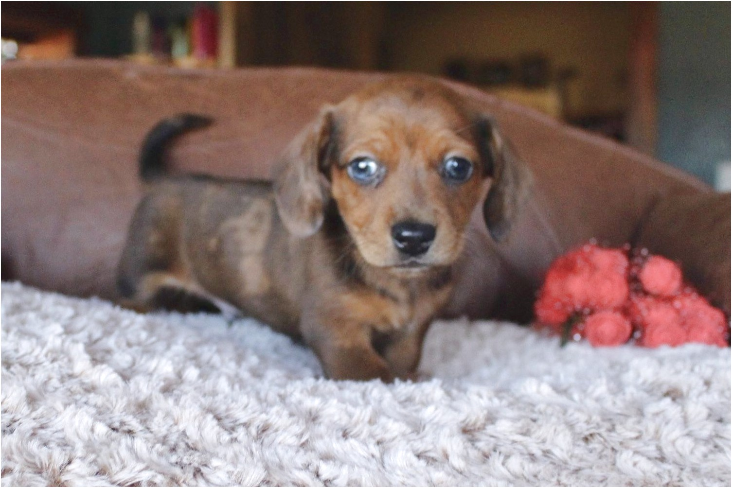 dachshund puppies for sale in tyler tx