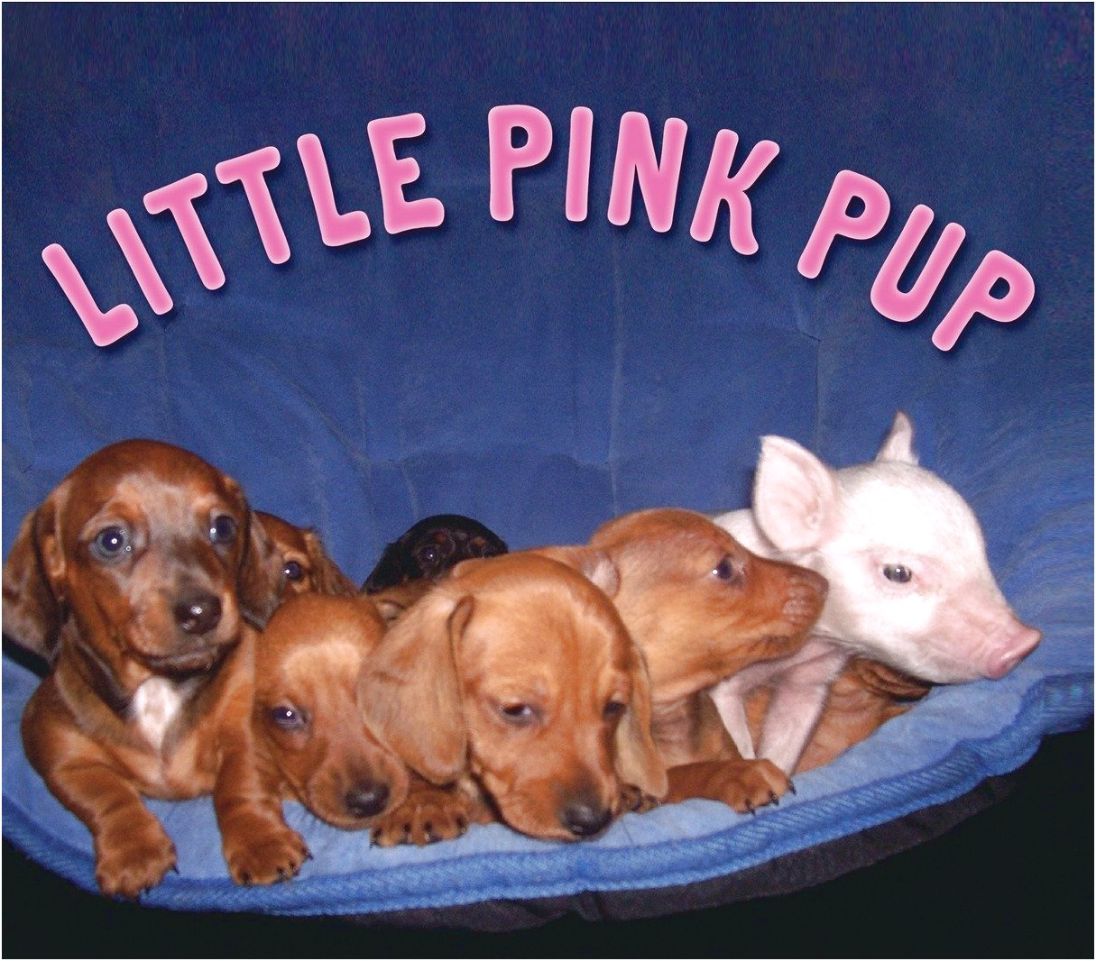 dachshund puppies for sale in western nc