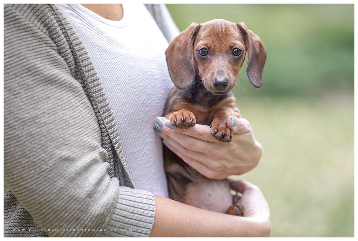 dachshund puppies for sale in western pa