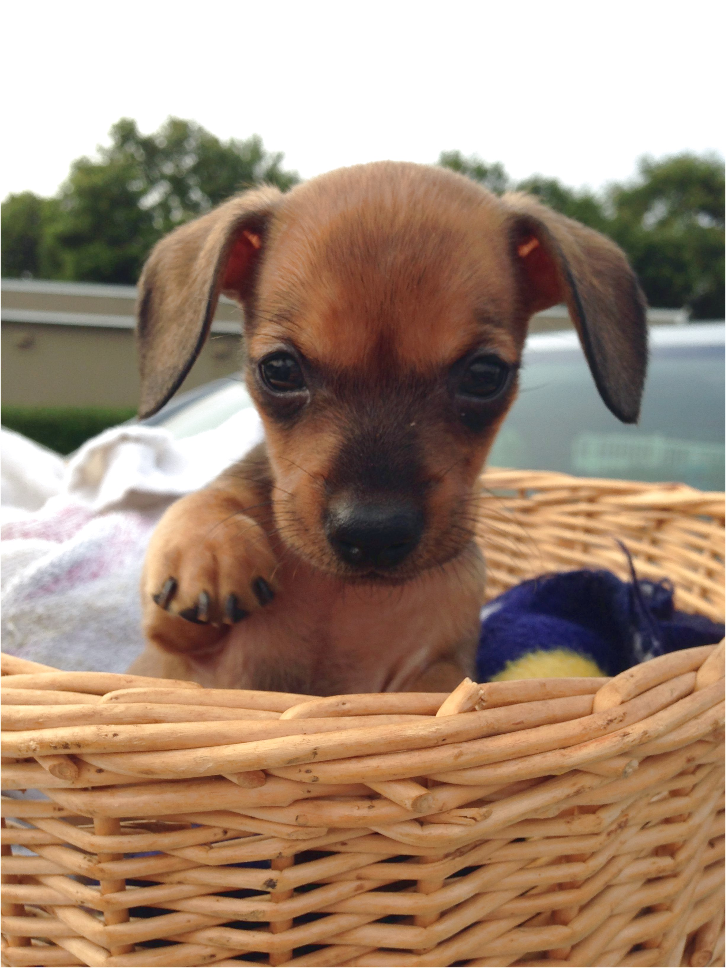dachshund puppies for sale near baton rouge