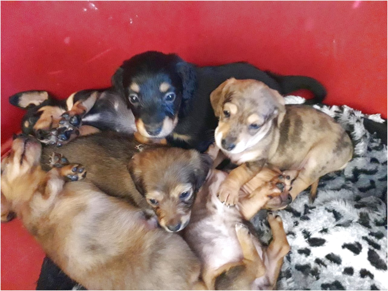 dachshund puppies for sale near bristol